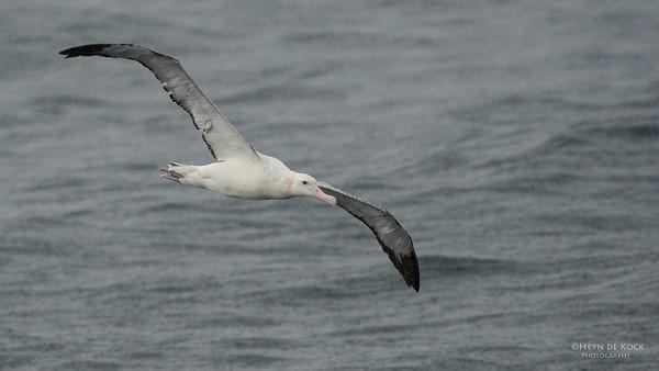 Wandering Albatross, Wollongong Pelagic, NSW, Aus, Aug 2014-6
