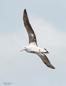 Wandering Albatross, Wollongong Pelagic, NSW, Aus, Oct 2013