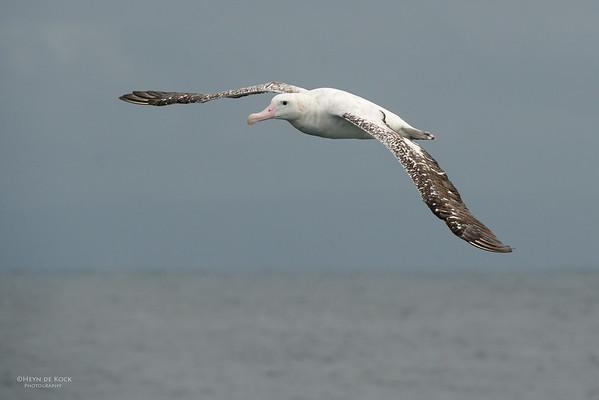 Wandering Albatross, Wollongong Pelagic, NSW, Aus, Aug 2014-3