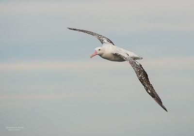 Wandering Albatross, Wollongong Pelagic, NSW, Aus, Jul 2013