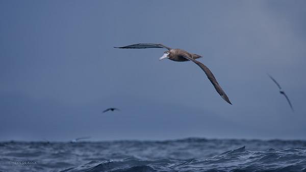 Wandering Albatross, imm, Eaglehawk Neck Pelagic, TAS, May 2016-2