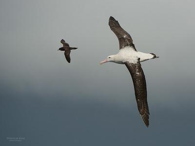Wandering Albatross, Wollongong Pelagic, NSW, Aus, Aug 2014-7