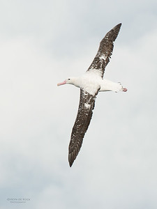 Wandering Albatross, Wollongong Pelagic, NSW, Aus, Aug 2014-4
