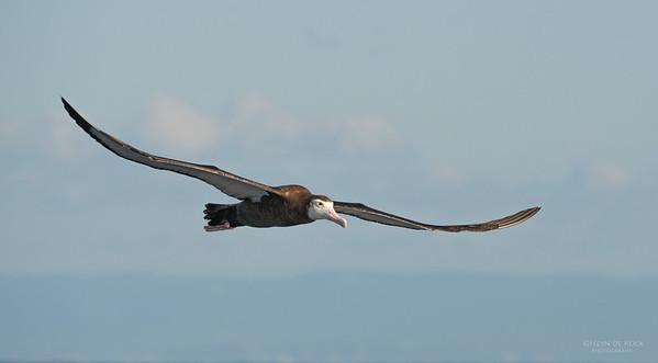 Wandering Albatross, Wollongong Pelagic, NSW, Aus, Jul 2013-1
