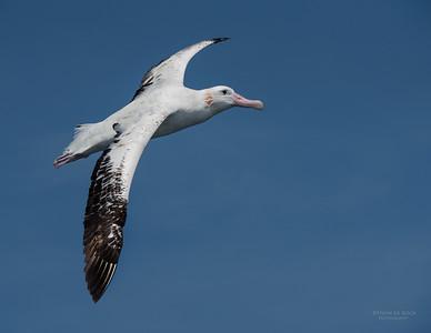 Wandering Albatross, Wollongong Pelagic, NSW, Aus, Oct 2014-5