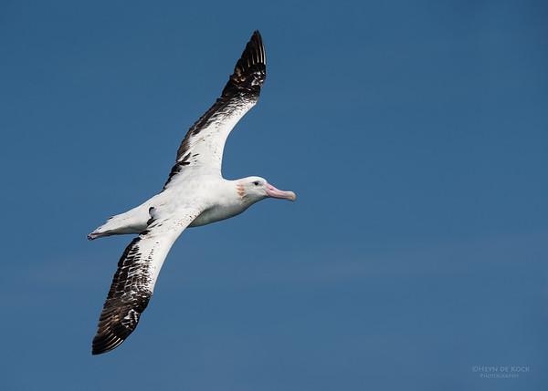 Wandering Albatross, Wollongong Pelagic, NSW, Aus, Oct 2014