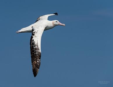 Wandering Albatross, Wollongong Pelagic, NSW, Aus, Oct 2014-4a
