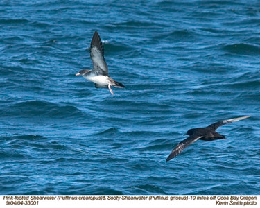 PinkFooted&SootyShearwaters33001