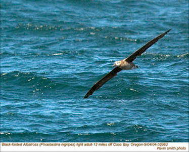 BlackFooted Albatross32982