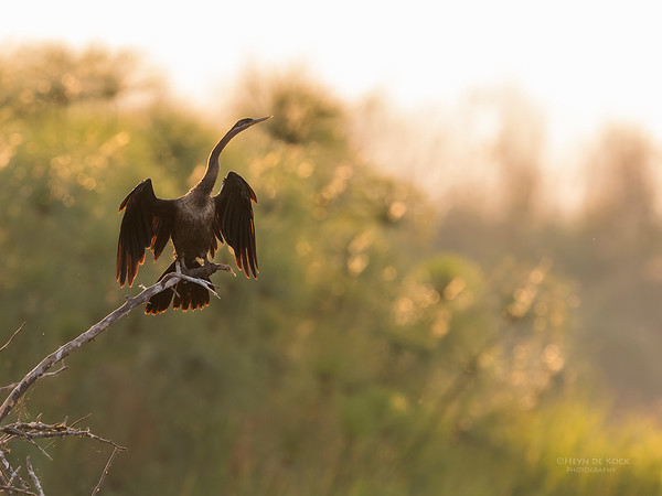 African Darter, Chobe River, NAM, Oct 2016-6
