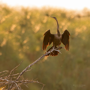 African Darter, Chobe River, NAM, Oct 2016-5