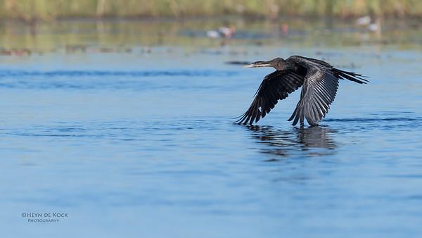 African Darter, Eagle Island, Okavango Delta, Botswana, May 2017-1