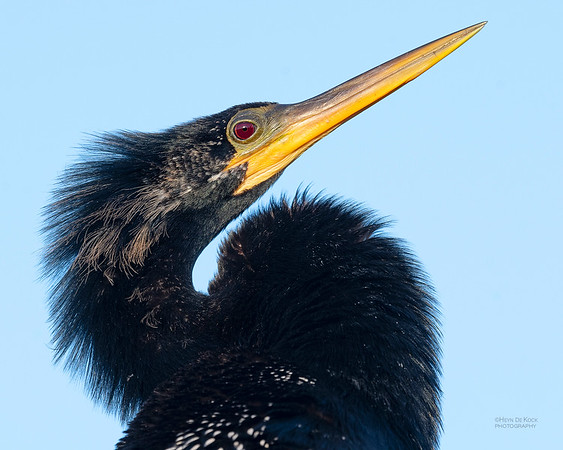 Anhinga, Circle B Bar, Lakeland, FL, USA, May 2018-2
