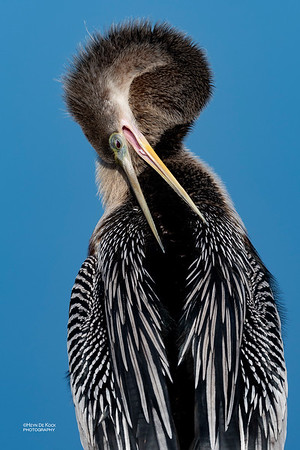 Anhinga, f, Circle B Bar, Lakeland, FL, USA, May 2018-3