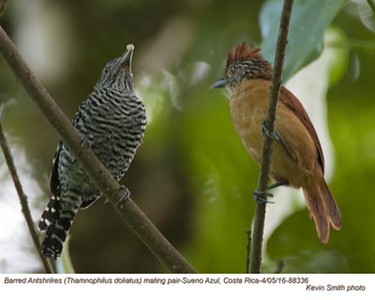 Barred Antshrikes P88336