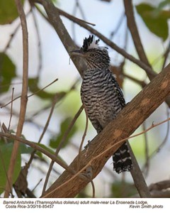 Barred Antshrike M85457