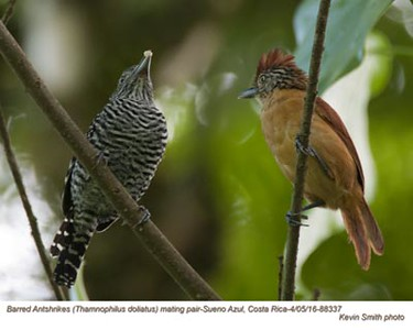 Barred Antshrikes P88337