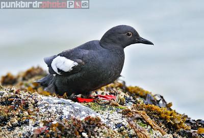 Pigeon Guillemot (Cepphus columba)