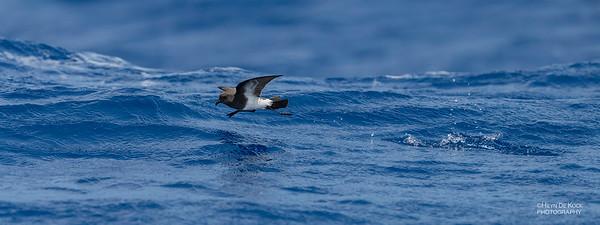 Black-bellied Storm Petrel, SEQ Seamounts, Oct 2020-4