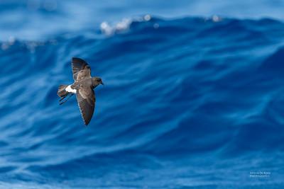 Black-bellied Storm-Petrel, SE QLD Seamounts, Oct 2020-5