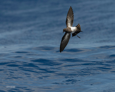 Black-bellied Storm Petrel, SEQ Seamounts, Oct 2020-3