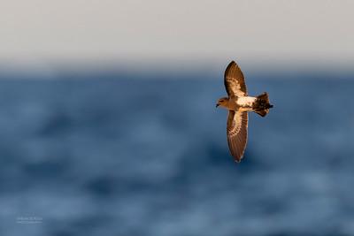 Black-bellied Storm-Petrel, SE QLD Seamounts, Oct 2020-7