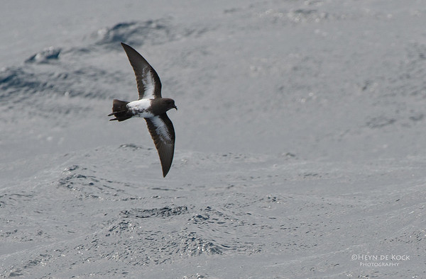 Black-bellied Storm-petrel, Southport Pelagic, Qld, Aus, Aug 2011