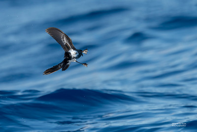 Black-bellied Storm-Petrel, SE QLD Seamounts, Oct 2020-3
