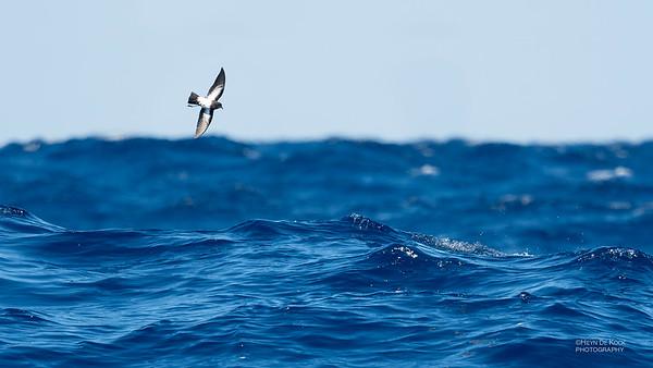 Black-bellied Storm Petrel, Southport Pelagic, Qld, Aus, Aug 2018