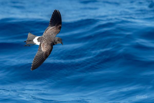 Black-bellied Storm-Petrel, SE QLD Seamounts, Oct 2020-1