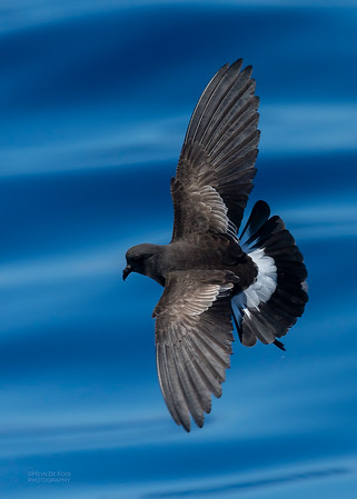 Wilson's Storm Petrel, Southport Pelagic, QLD, Oct 2018-6