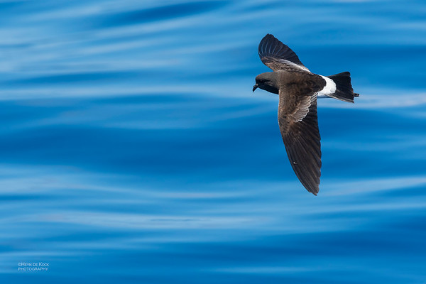 Wilson's Storm Petrel, Southport Pelagic, QLD, Oct 2018-8
