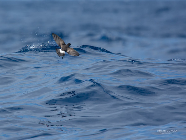Wilson's Storm Petrel, Southport Pelagic, QLD, May 2016