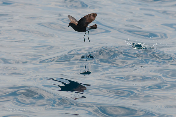 Wilson's Storm-Petrel, Port Stephens Pelagic, NSW, Mar 2010