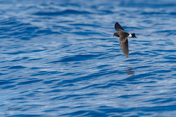 Wilson's Storm Petrel, Southport Pelagic, QLD, Oct 2018-9