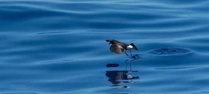Wilson's Storm Petrel, Southport Pelagic, QLD, Oct 2018-3