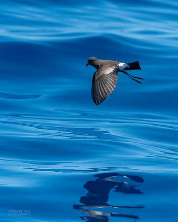 Wilson's Storm Petrel, Southport Pelagic, QLD, Oct 2018-5