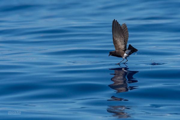 Wilson's Storm Petrel, Southport Pelagic, QLD, Oct 2018-4