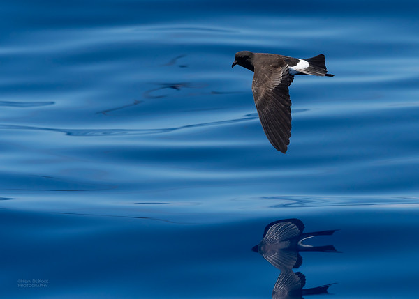 Wilson's Storm Petrel, Southport Pelagic, QLD, Oct 2018-2