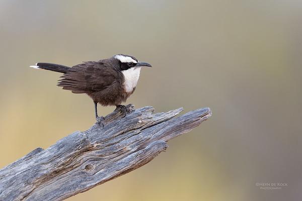 Hall's Babbler, Bowra, QLD, Aus, Sept 2017-1