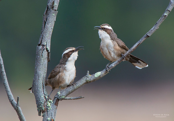 White-browed Babblers, Capertee Valley, NSW, Sep 2013