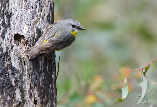 Eastern Yellow-robin, Girraween NP, Qld, Aus