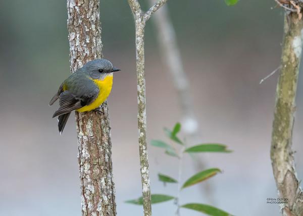 Easten Yellow Robin, Julatten, QLD, Aug 2020-4