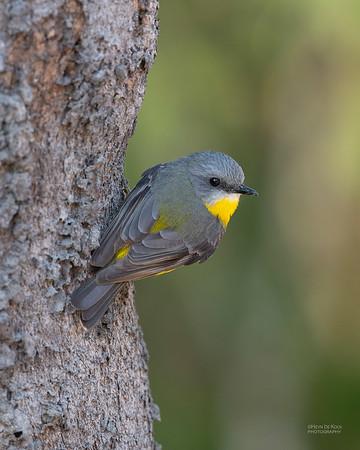 Easten Yellow Robin, Julatten, QLD, Aug 2020-3
