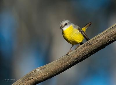 Eastern Yellow-robin, Mulgoa NR, NSW, Aug 2013-3