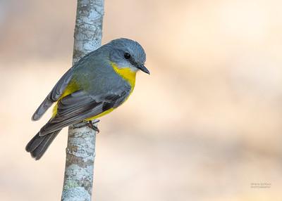 Easten Yellow Robin, Julatten, QLD, Aug 2020-1
