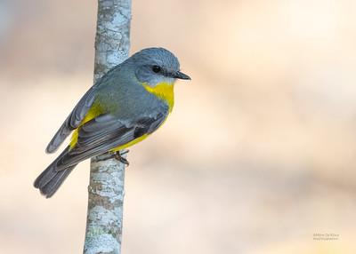 Easten Yellow Robin, Julatten, QLD, Aug 2020-2