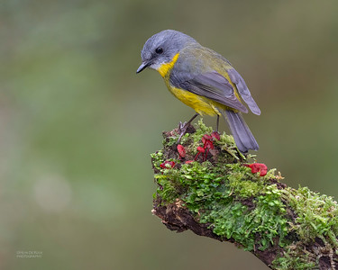 Eastern Yellow Robin, Otway Ranges, VIC, Oct 2018-6