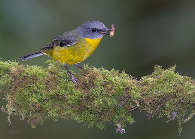 Eastern Yellow Robin, Otway Ranges, VIC, Oct 2018-5