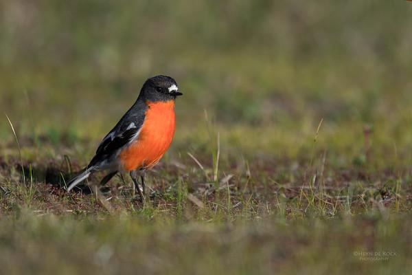 Flame Robin, Eaglehawk Neck, TAS, Sept 2016-1